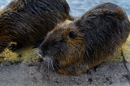 curious: 2 curious nutria ashore Stock Photo