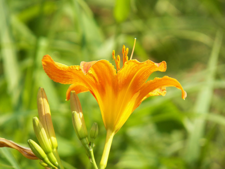 day lily: day lily Stock Photo