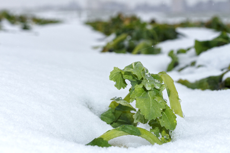 coatings: Field of winter rape, which is well wintered under snow