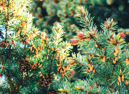 Spruce in the spring Stock Photo
