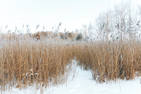 The frozen swamp, reeds covered with hoarfrost