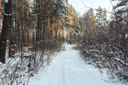 Trail in the coniferous forest in winter