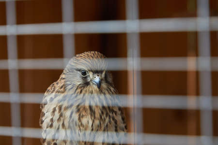 A young fast falcon sits behind the bars of a cage