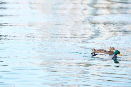 Ducks, male and female swim in the river