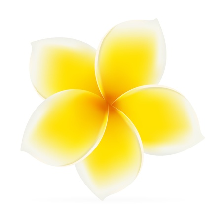 bali: Frangipani. Asian yellow flower. Vector illustration on white background