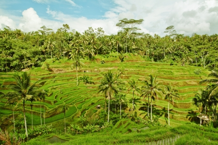 Rice terrace in Bali island. Green fields of agriculture in Ubud photo