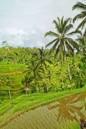 Rice terrace in Bali island  Green fields of agriculture in Ubud photo