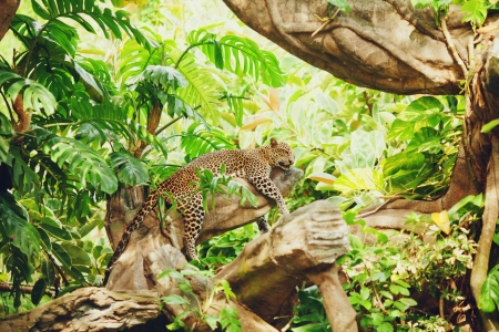 jungle foliage: Lying (sleeping) leopard on tree branch. In the forest (jungle)