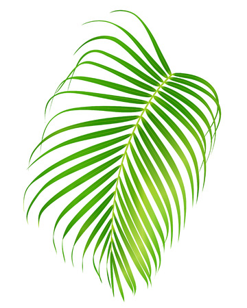 Palm leaf isolated on white background. Vector foliage of tropical tree (useful at any brochure, booklet, leaflet, invitation, holiday and vacation ad) Illustration