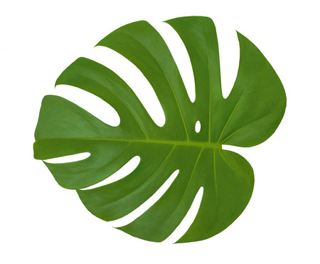 Isolated beautiful green leaf Monstera plant on a white background. Closeup texture of Philodendron leaf with holes (palm tree). Useful for 3d texturing to create an exotic tropical nature outdoors