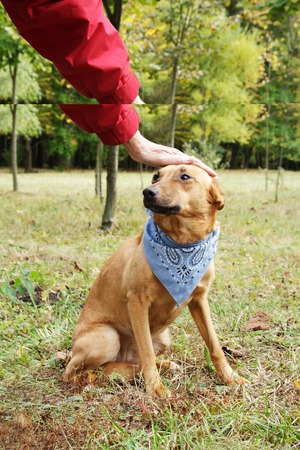 domestication: Stroking dog in scarf. Dog is walking in park. Owner squeeze and palm their dog. Domestication of scared and pooch dog.