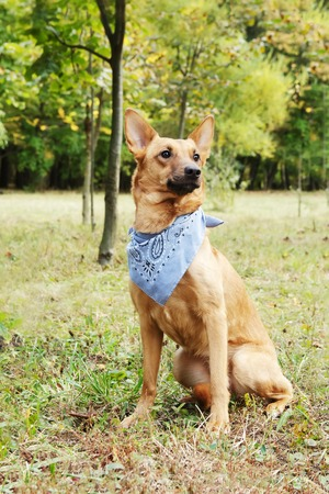 domestication: Cur dog in scarf. Dog is walking in park. Domestication of pooch dog.