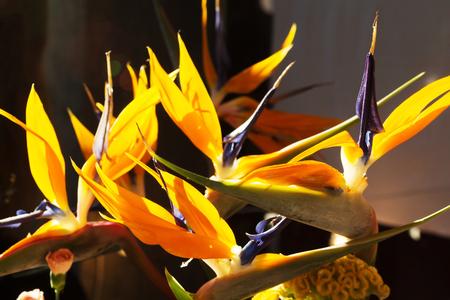 Bird of Paradise Plant in volledige seizoensbloei Stockfoto - 97601976