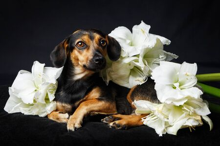 dog in the flowers on black background looking to the camera