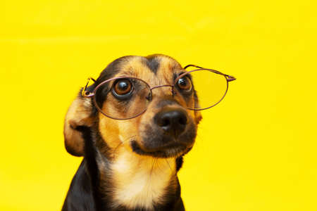 Smart and trained dog with glasses on the nose