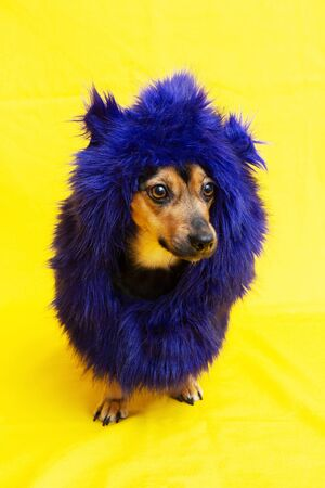 Cute dog wearing funny blue wig isolated on yellow background