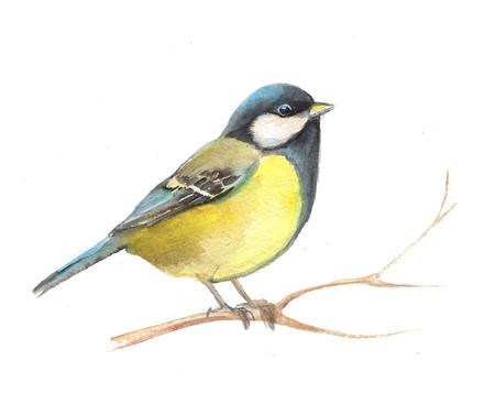 titmouse: Cute small bird. Watercolor titmouse 2