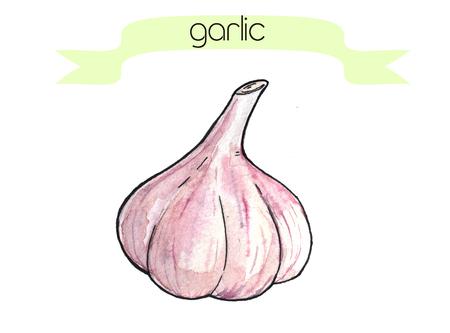 Acquerello disegnato a mano frash aglio. Isolato organico naturale eco illustrazione su sfondo bianco Archivio Fotografico - 64705331