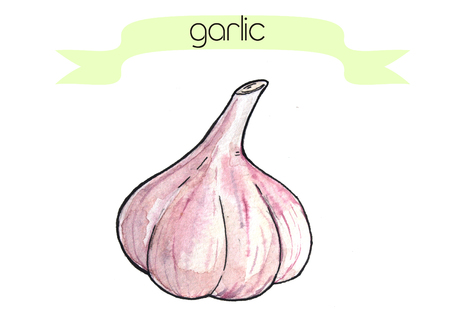 Watercolor hand drawn frash garlic. Isolated organic natural eco illustration on white background