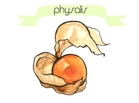 frash: Watercolor hand drawn frash physalis. Isolated organic natural eco illustration on white background