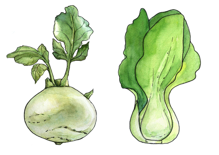 Watercolor hand drawn fresh luttuce. Isolated organic natural eco illustration on white background