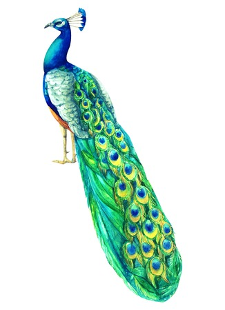 Watercolor hand painted multicolored peacock. proud exotic bird with azure plumage. Tropical trandy illustration for design and celebration, wedding
