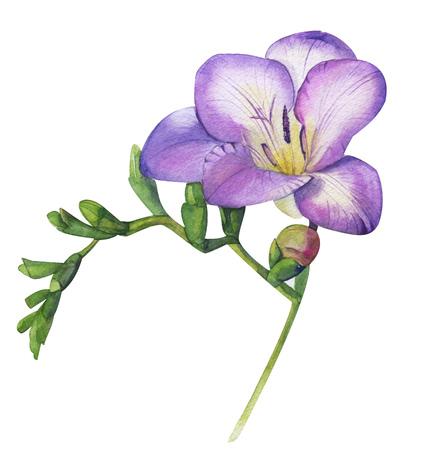 Watercolor hand violet freesia. Gently fragrant purple flower branch. Feminine floral illustration isolated on white for trende fresh design wedding