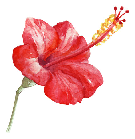 Watercolor hand painted red hibiscus. exotic fragrant flower. Tropical flower isolated on white for trandy design Zdjęcie Seryjne
