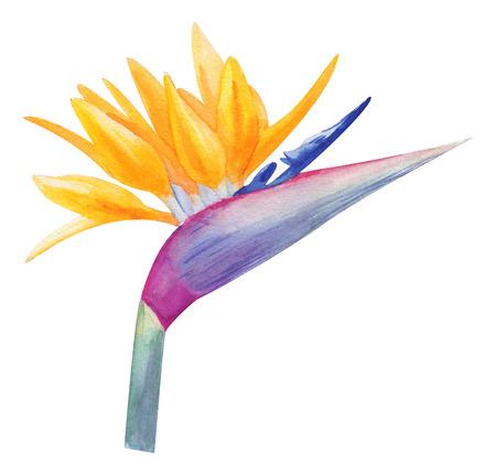 Watercolor hand multicolored strelitzia. exotic fragrant bird flower. Tropical flower isolated on white for trendy design Archivio Fotografico - 123365718