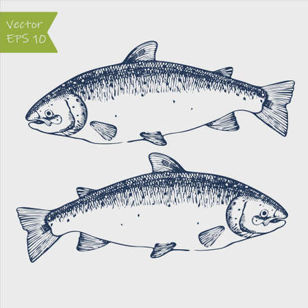 Vector engraving illustration of highly detailed hand drawn trout isolated on white background Vecteurs