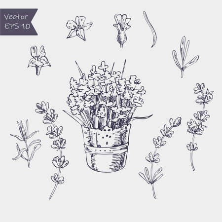 Vector set of ink hand drawn lavender illustration in lilac color. Vintage collection of lavender flowers sketch isolated on white