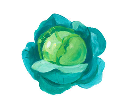 Green Cabbage. Hand drawn acrylic or gouache illustration on white background