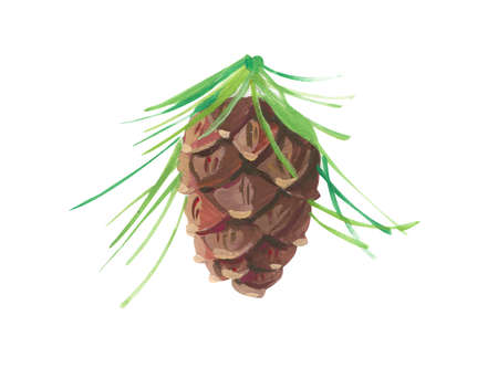 cedar pine cone. Hand drawn acrylic or gouache illustration on white background 版權商用圖片