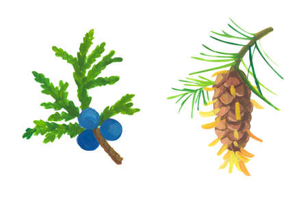 larch pinecone and juniper. Hand drawn acrylic or gouache illustration on white background