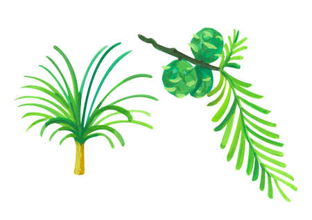 sciadopitis and taxodium. Hand drawn acrylic or gouache illustration on white