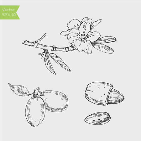 Almond plant set. The illustration in vintage style. Picture made by hands with ink.