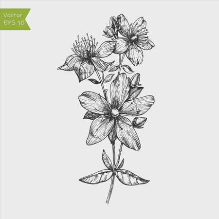 Tutsan plant background. Vector St. John's wort leaves and flowers illustration. Hand drawn Hypericum perforatum branch sketch. Officinalis, medicinal, cosmetic herb logo.