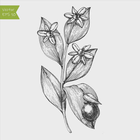 Italian ruscus branch. Hand drawn vector illustration 向量圖像