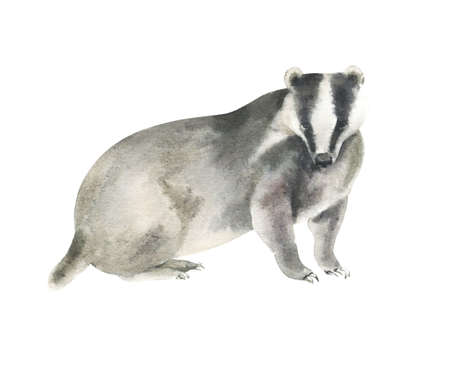 Watercolor badger painting. Hand painted realistic illustration isolated on white background