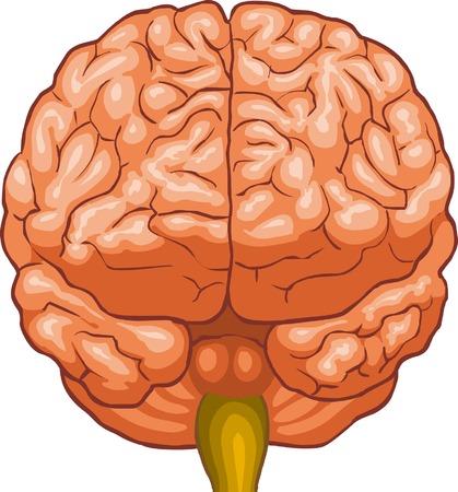 cerebellum: Brain Illustration