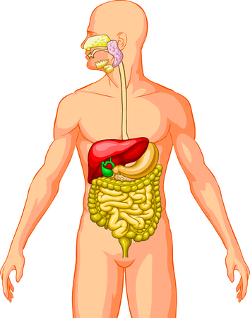 hepatic: Digestive System Illustration