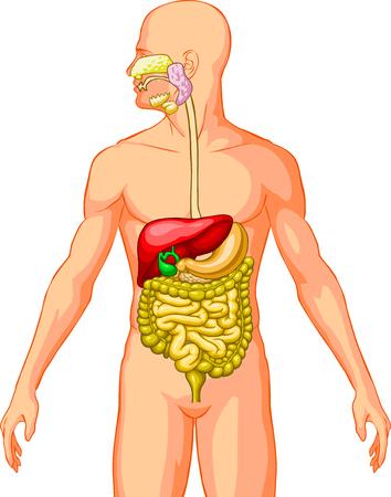 digestive system: Sistema Digestivo Vectores