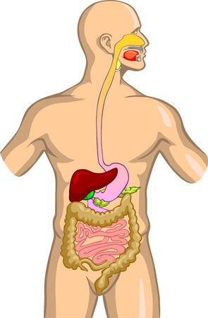 digestive health: Digestive System Illustration