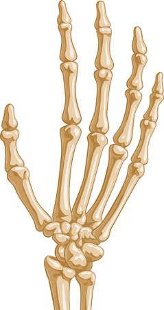 distal: Ossa della mano umana