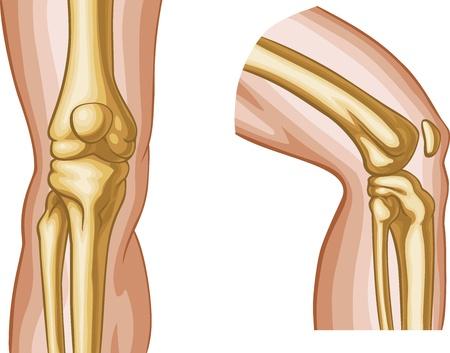 leg muscle: Articulaci�n de la rodilla humana