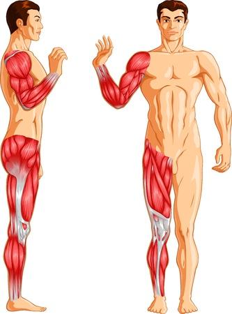 lateral: Ilustraci�n vectorial de un brazo humano y m�sculos de las piernas.