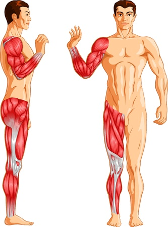 muscular system: Vector illustration of Human arm and leg muscles. Illustration