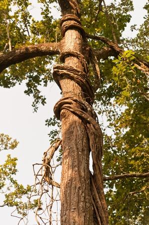 Tree with wild ivy  photo