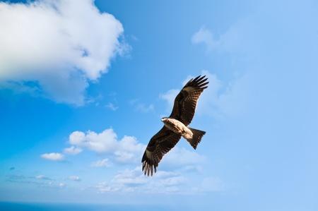 kathmandu: Hawk - falcon in the blue sky Kathmandu Nepal Stock Photo