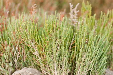 Salicornia europaea  common glasswort  in the field